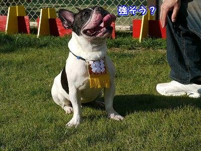 土佐犬 (3)
