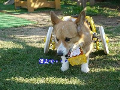 土佐犬 (9)