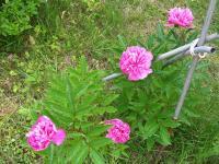 20110616syakuyaku