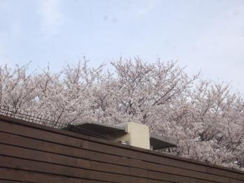 庭から桜並木とか贅沢やな