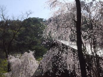 枝垂桜良いねー