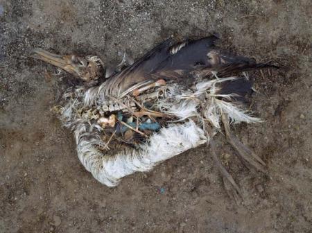 Dead Albatross_1