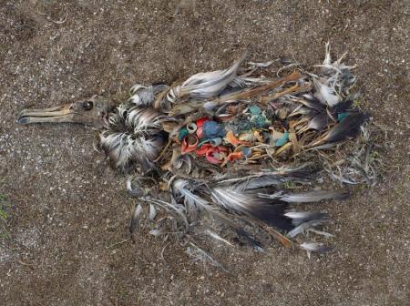Dead Albatross_3