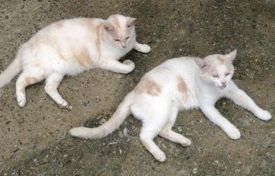 ネコ白2匹