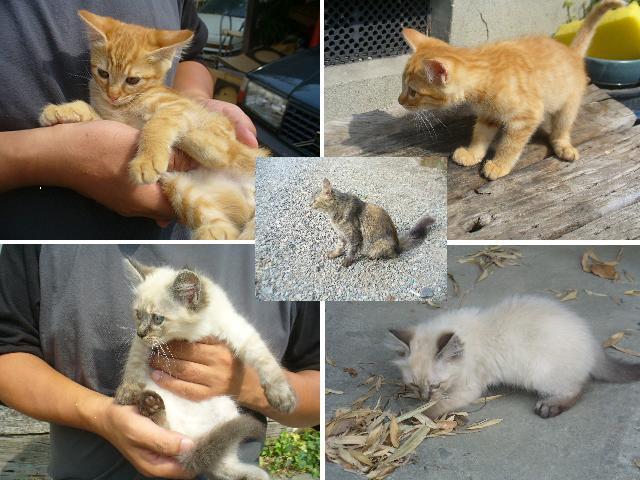 子猫しま白3
