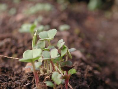 野沢菜の芽