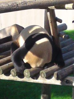 だらけてるパンダ