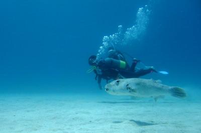 モヨウフグと泳ぐ