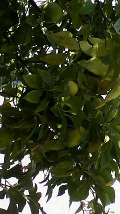 レモン01