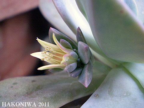 パープルクイーン花1