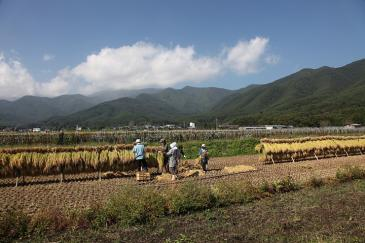 箕輪町 稲刈り風景