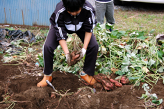 子供達が掘る芋アップ