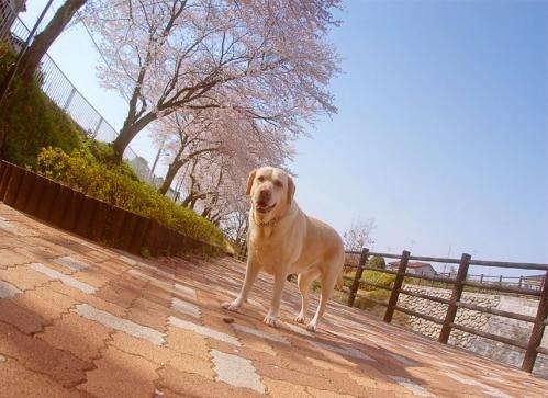 20100406sakuraa.jpg