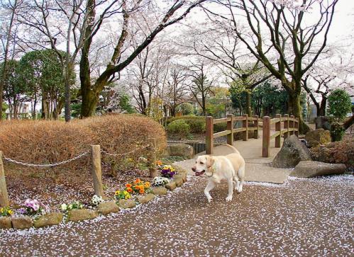 20100410sayamaike2.jpg