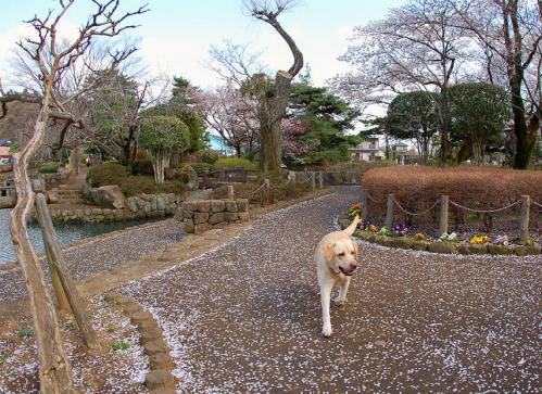 20100410sayamaike3.jpg