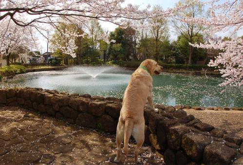 20100410sayamaike5.jpg