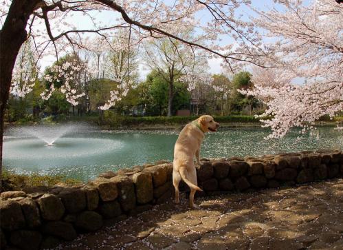 20100410sayamaike6.jpg