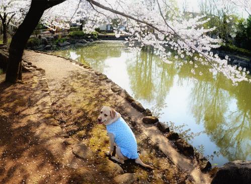 20110413sayamaike1.jpg