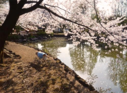 20110413sayamaike22.jpg
