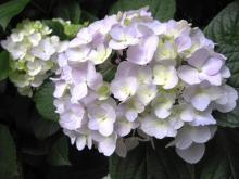 IMG_2047 紫陽花