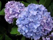 IMG_2012 紫陽花