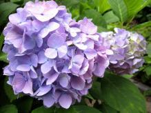 IMG_2010 紫陽花