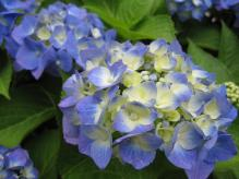 IMG_2085 紫陽花