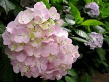 IMG_2071 紫陽花