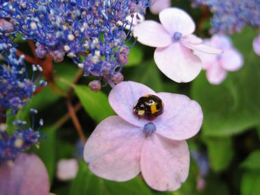 IMG_2253 紫陽花