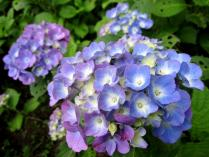 IMG_2176 紫陽花