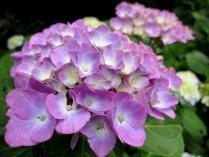 IMG_2171 紫陽花