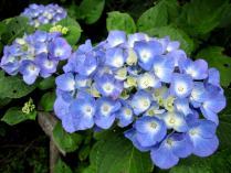 IMG_2173 紫陽花