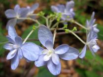 IMG_2144 紫陽花