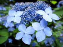IMG_2148 紫陽花