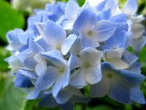 IMG_2272 紫陽花