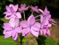 IMG_2286 紫陽花