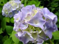 IMG_2193 紫陽花