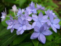 IMG_2295 紫陽花
