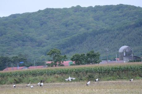 鶴居村のタンチョウ