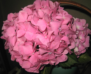2010.6.19紫陽花blog02