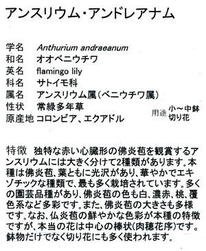 アンスリウムblog02