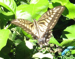 2010.8.6真昼の蝶blog01