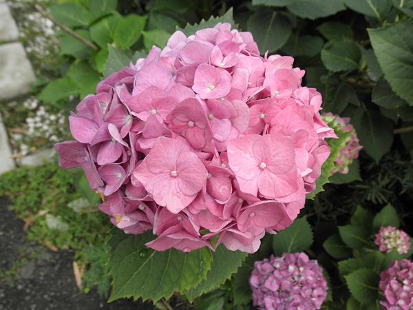 20110612紫陽花①