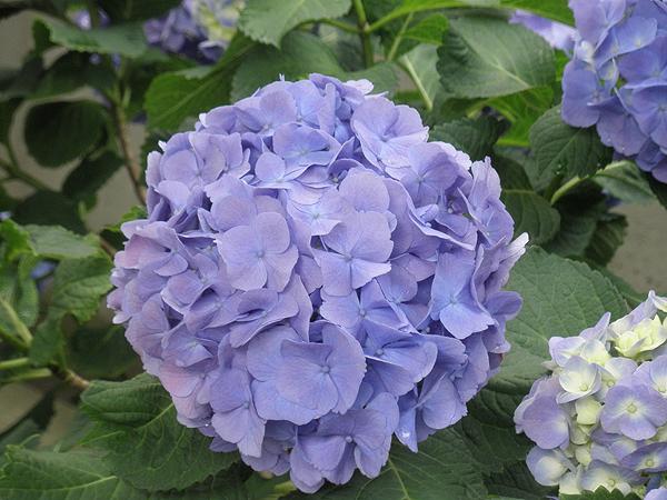 20110612紫陽花②