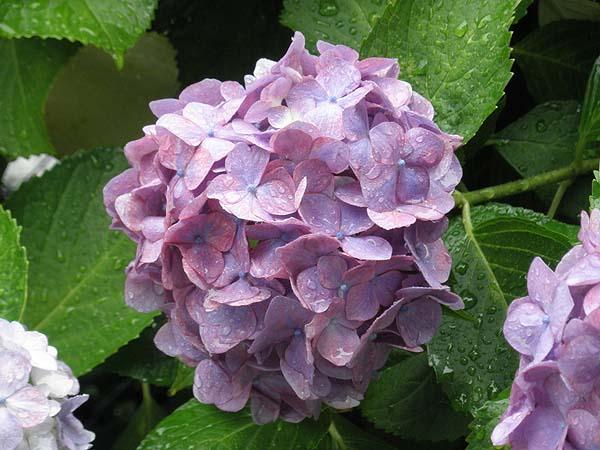 20110617紫陽花①