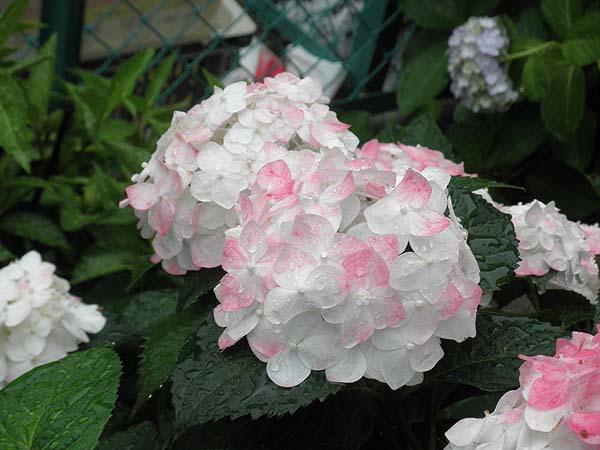 20110617紫陽花②