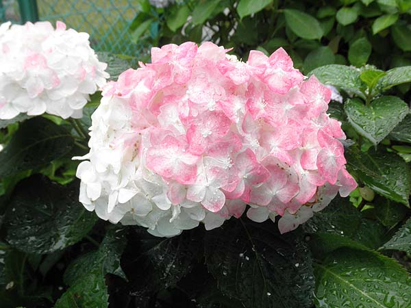 20110617紫陽花③