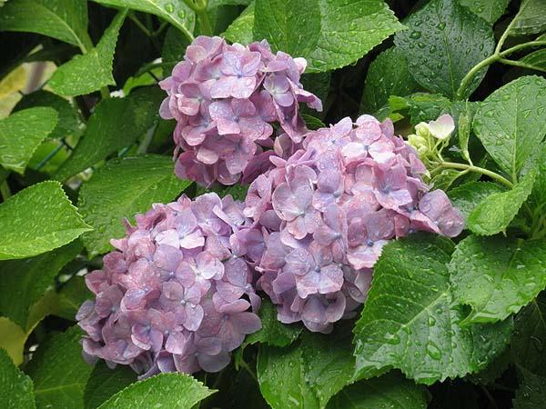 20110617紫陽花④