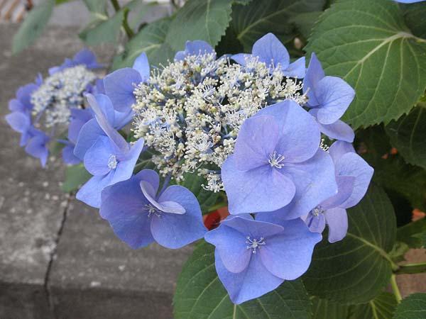 20110625紫陽花①