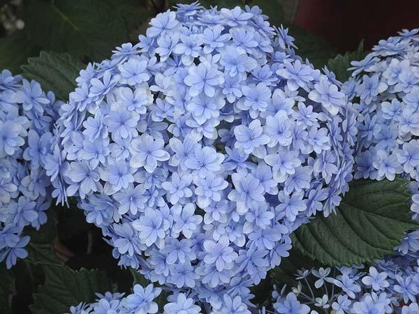 20110625紫陽花②